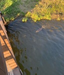 Beaver Near the Lyman Lakes!
